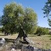 オリーブ畑と峡谷を楽しむ散策の画像