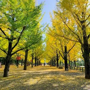 熊本県庁のプロムナードのイチョウ並木。毎年秋には辺り一面を黄金色に美しく染めてくれ...の画像