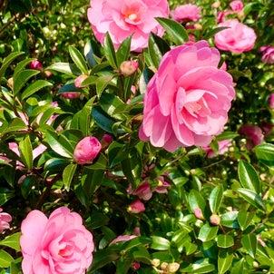 山茶花の画像