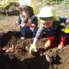 0・1歳児 さつまいも掘りを行いました。の画像