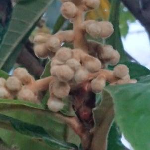 ビワノ花の画像
