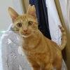 明日11/15(日)にゃんクルー譲渡会に参加予定の猫さんーその2の画像