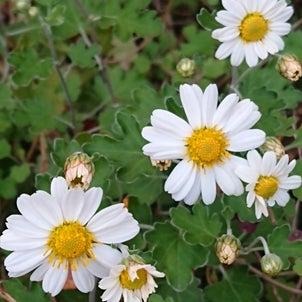 野菊・エゾノコンギク(蝦夷野紺菊)の画像