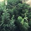 クリスマススワッグ_生きた常緑樹にこだわりますの画像