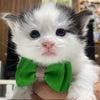 ノルウェージャンフォレストキャットの子猫 仮名決まりました!の画像