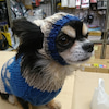 愛犬ポッキー チワワ の高速おねだり(笑)の画像