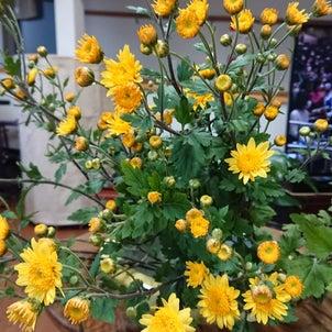 黄色い小菊の画像