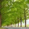 マキノ高原のメタセコイア並木の画像