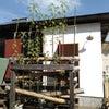 ケナフを植えた竹式傾斜土槽における台所排水の浄化実験の画像