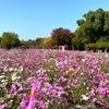 長居公園の秋桜庭園11月23日まで!の画像