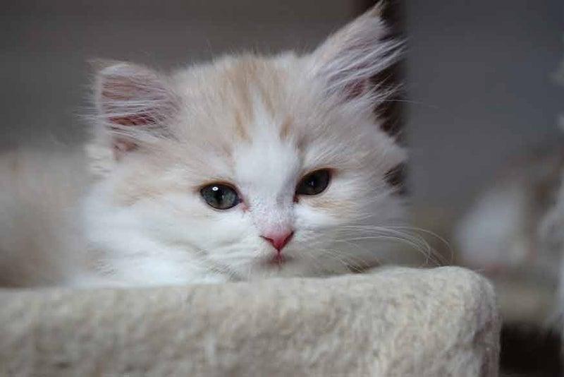 おすすめスコティッシュフォールド子猫里親募集中 立ち耳 ロング メス