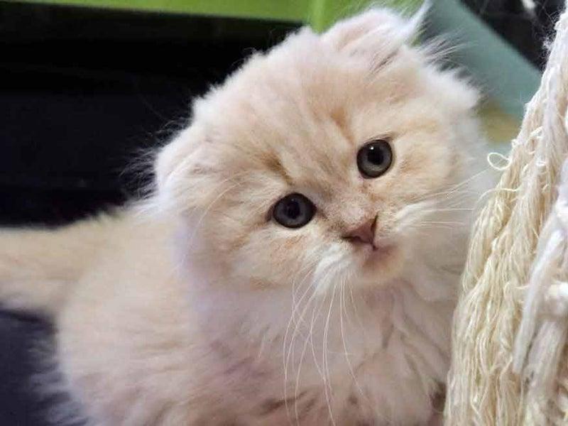 おすすめスコティッシュフォールド子猫里親募集中 折れ耳 ロング メス