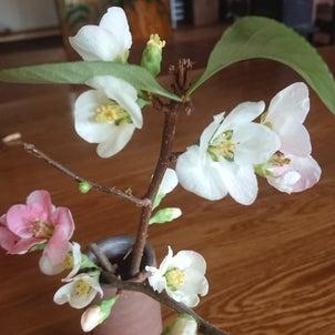 ボケ(木瓜)の花の画像