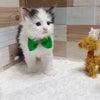 募集中の子猫ちゃん ヾ(*ΦωΦ*)ノの画像