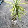 時期外れの観葉植物の植え替え ユッカの画像