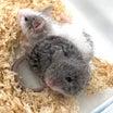 マウスちゃんラットちゃん!!