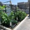 保育園の屋上菜園!!の画像