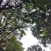 大銀杏の落ち葉