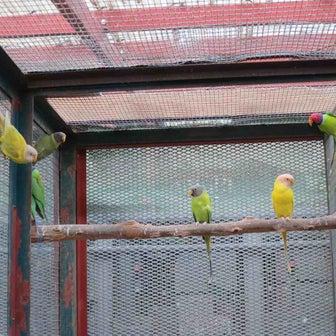 コセイインコ(Plum headed parakeet)ですが・・