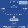 NAD+についての画像