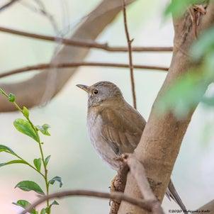 茂みの中で、シロハラさんを発見!!の画像
