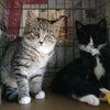 明日12/20(日)にゃんクルー譲渡会に参加予定の猫さん-その2の画像