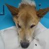 ガリガリのおばあちゃん犬を引き出しましたの画像