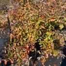 ブルーベリーの紅葉が進んでいますの記事より