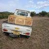 12月22日(火)進む!みかんの収穫作業の画像