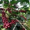 ▼コーヒーの品種について。の画像