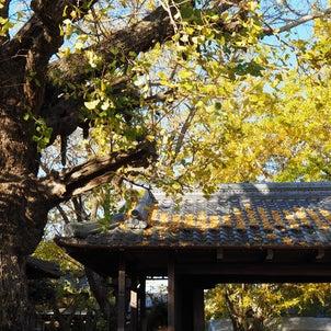 日本一銀杏の郷・祖父江(2020年11月28日撮影)の画像