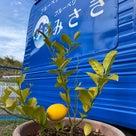 収穫したレモンの楽しみ方の記事より
