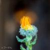 アラビアンコーストの花の画像