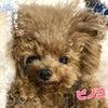 1月8日(金)、9日(土)、10日(日)、11日(祝)仔犬見学可能です!の画像