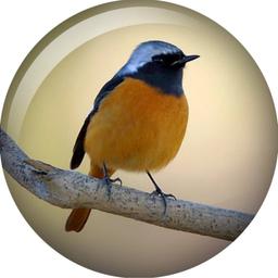画像 野鳥のジョウビタキ の記事より 4つ目