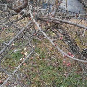 梅の開花、7777、3333、不思議なこと続きの画像