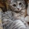 明日1/17(日)にゃんクルー譲渡会に参加予定の猫さんたち-その2の画像