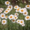春のフラワーセラピー~マーガレット&スノードロップの画像