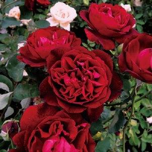 Rose collection『フランシス デュブリュイ』by京阪園芸ガーデナーズの画像
