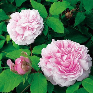 Rose collection『ジャック カルチェ』by京阪園芸ガーデナーズの画像