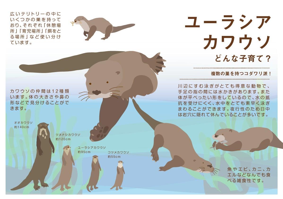 種類 カワウソ 動物図鑑/コツメカワウソ