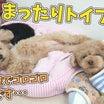 まったりトイプーズ ひみつきちなう!#2  (チワワ 柴犬 トイプードル マルペキ) 2