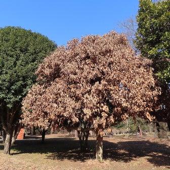 樹木の世界でも伝染病が急拡大・ナラ枯れ@あちこちの公園など