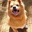 【拡散希望】千葉市センター収容犬クリボー、家族募集中