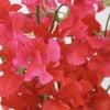 スイトピーの日~最強の恋愛アップの花の画像