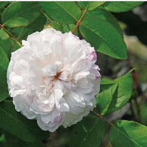 Rose collection『ホワイトジャックカルチェ』by京阪園芸ガーデナーズの画像