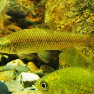 日本の淡水魚とカブトガニなど(竹島水族館)2020年2月22日撮影の画像