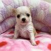 チワワの子犬生まれてます♪~家族が決まりました~の画像