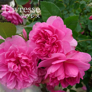 Rose collection『リヴレス』by京阪園芸ガーデナーズの画像