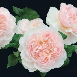 Rose collection『アッサンブラージュ』by京阪園芸ガーデナーズの画像